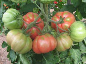 Pear tomato Girona