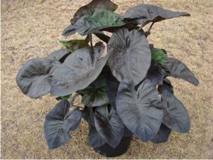 Colocasia Royal Hawaiian
